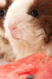 Guinea pigs. baby Stock Photography