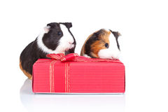 Guinea pigs behind a red gift Stock Image
