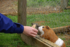 Guinea pigs being fed in cage Royalty Free Stock Photo