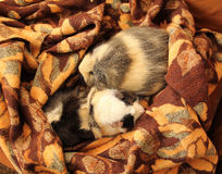 Guinea pigs on the blanket Stock Photography