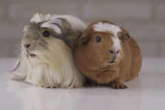 Guinea pigs breed Golden American Crested and Coronet cavy Royalty Free Stock Photography