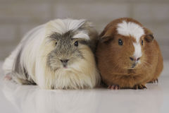 Guinea pigs breed Golden American Crested and Coronet cavy Stock Photos