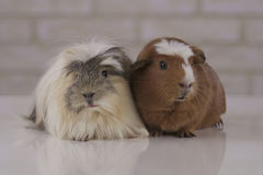 Guinea pigs breed Golden American Crested and Coronet cavy Royalty Free Stock Photos