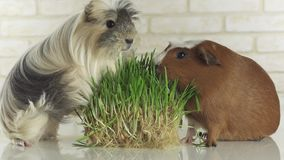 Guinea pigs breed Golden American Crested and Coronet cavy eat germinated oats stock footage video stock video