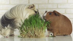 Guinea pigs breed Golden American Crested and Coronet cavy eat germinated oats stock footage video stock footage