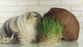 Guinea pigs breed Golden American Crested and Coronet cavy eat germinated oats stock footage video stock video footage