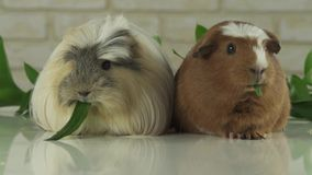 Guinea pigs breed Golden American Crested and Coronet cavy eating cucumber slow motion stock footage video stock video footage