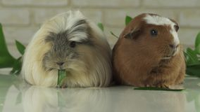 Guinea pigs breed Golden American Crested and Coronet cavy eating cucumber slow motion stock footage video. Beautiful guinea pigs breed Golden American Crested stock video