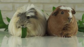 Guinea pigs breed Golden American Crested and Coronet cavy eating cucumber stock footage video. Beautiful guinea pigs breed Golden American Crested and Coronet stock footage