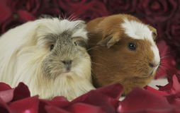 Guinea pigs breed Golden American Crested and Coronet cavy in the petals of red roses Royalty Free Stock Photography