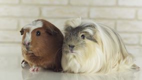 Guinea pigs breed Golden American Crested and Coronet cavy stock footage video stock video