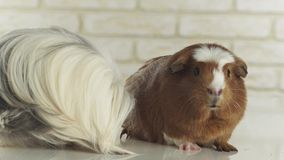 Guinea pigs breed Golden American Crested and Coronet cavy stock footage video. Beautiful guinea pigs breed Golden American Crested and Coronet cavy stock stock video