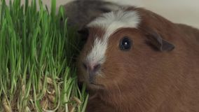 Guinea pigs breed Golden American Crested eat germinated oats slow motion stock footage video. Funny Guinea pigs breed Golden American Crested eat germinated stock video footage
