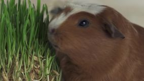 Guinea pigs breed Golden American Crested eat germinated oats slow motion stock footage video stock video