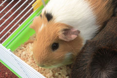 Guinea Pigs in Cage Royalty Free Stock Photography