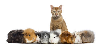 Guinea Pigs with a cat in a row, isolated stock photos