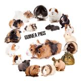 Guinea pigs set on white. Guinea pigs in circle isolated on the white background royalty free stock photo