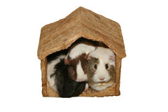 Guinea Pigs in Crowded Home Royalty Free Stock Image