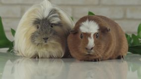Guinea pigs eat their own droppings to improve digestion slow motion stock footage video stock video footage