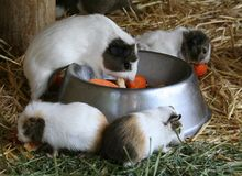 Guinea Pigs Eating. Four little guinea pigs eating carrots out of a dog bowl Stock Photos