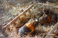 Guinea pigs Royalty Free Stock Photo