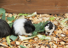 Guinea pigs eating leaves Stock Image