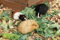 Guinea pigs eating leaves Royalty Free Stock Photo