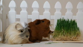 Guinea pigs eating sprouting oats. stock video footage