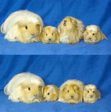 Guinea pigs family Stock Image