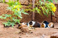 Guinea pigs family eating Stock Photos