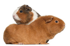 Guinea pigs, in front of white