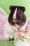 Guinea pigs and gift. Happy guinea pigs and gift Stock Photography