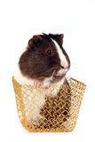 Guinea pigs in a gold basket. On a white background Royalty Free Stock Photography