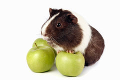 Guinea pigs with green apples. On a white background Stock Images