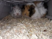Guinea pigs. In cage Stock Photography