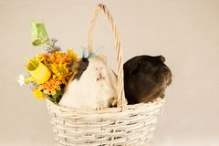 Guinea Pigs Happy Easter with Eggs. White, Black and Orange Guinea Pigs Happy Easter with Eggs in the Basket royalty free stock photo