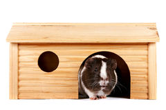Guinea Pigs In A Wooden Small House Stock Photos