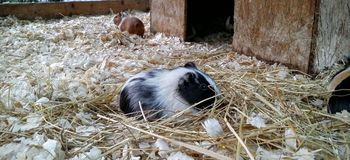 Guinea pigs. Inside a cage Royalty Free Stock Photo