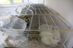 Laboratory rats in cages stock photos