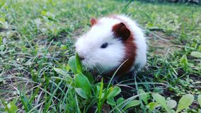 Guinea pigs. Meet cadbury, she is adorable Stock Image