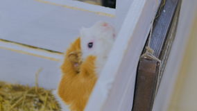 Guinea pigs near white wooden fence stock footage