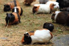 Guinea pigs Royalty Free Stock Photography