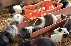 Guinea pigs play. In Petting zoo Royalty Free Stock Images