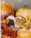 Guinea Pigs and Pumpkins Royalty Free Stock Images
