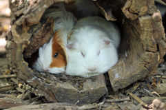 Guinea Pigs Resting stock images