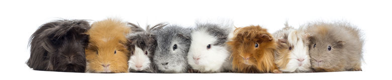 Guinea Pigs in a row, isolated Stock Photos