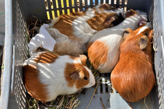 Guinea Pigs for Sale in Animal market, Ecuador Royalty Free Stock Photo