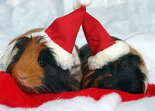 Guinea pigs in santa hats. A closeup of a pair of brown and black guinea pigs, dressed in santa hats and lying on fake snow Stock Images