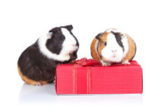 Guinea pigs sitting on a gift Royalty Free Stock Photography