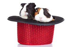 Guinea pigs sitting in a red hat Stock Photo